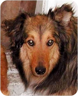 Collie/Sheltie, Shetland Sheepdog Mix Dog for adoption in El Segundo, California - Shane