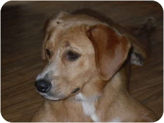 Beagle/Golden Retriever Mix Dog for adoption in Newport, Vermont - Monette