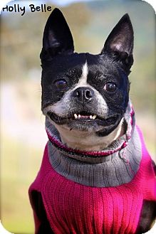 Boston Terrier Mix Dog for adoption in Albany, New York - Holly Belle
