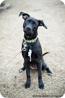 Labrador Retriever/American Pit Bull Terrier Mix Dog for adoption in Detroit, Michigan - Kia-Adopted!
