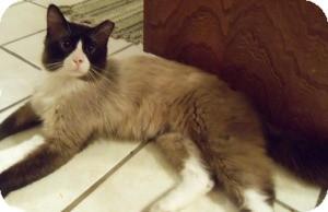 Ragdoll Cat for adoption in Ennis, Texas - Teddy Bear