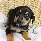 Adopt A Pet :: Koby