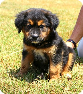 Glastonbury, CT - Rottweiler/Golden Retriever Mix. Meet ...