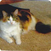 Adopt A Pet :: calee - Laguna Woods, CA