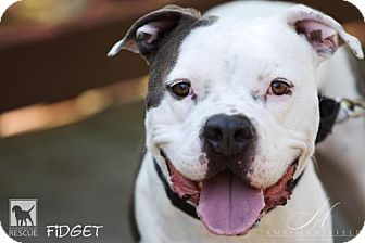 American Staffordshire Terrier Mix Dog for adoption in Torrance, California - Fidget *special needs*