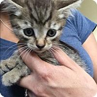 Domestic Shorthair Kitten for adoption in Anaheim Hills, California - Chance