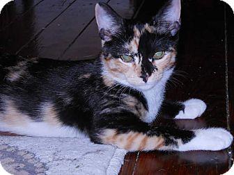 Calico Kitten for adoption in Darby, Pennsylvania - Zena
