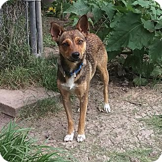 Shepherd (Unknown Type) Mix Dog for adoption in Schertz, Texas - Sable MW