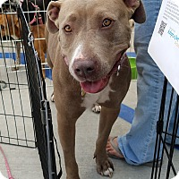 American Pit Bull Terrier Dog for adoption in Culver City, California - Coco
