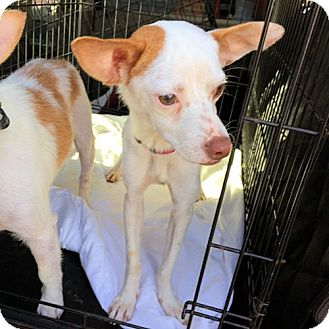 Chihuahua Mix Dog for adoption in Fredericksburg, Virginia - Rosy