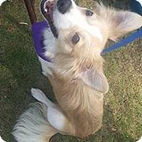 Adopt A Pet :: Colin Collie - West Warwick, RI