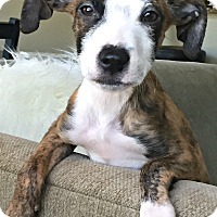Adopt A Pet :: Storm - Boulder, CO