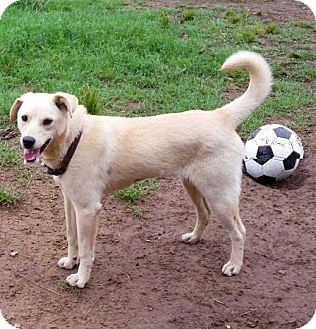 Labrador Retriever/Hound (Unknown Type) Mix Dog for adoption in Jefferson, Texas - Bonnie