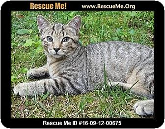 Bengal Cat for adoption in Waldorf, Maryland - Brownie