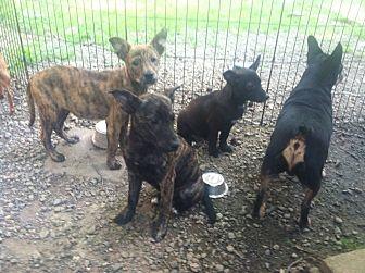 Labrador Retriever Mix Puppy for adoption in Staunton, Virginia - Nutmeg/Basil/Sage/Cayenne