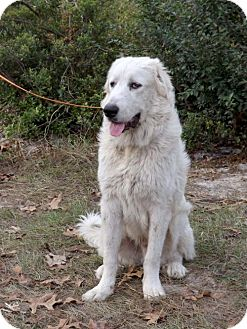 Great Pyrenees Dog for adoption in Citrus Springs, Florida - Major