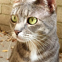 Domestic Shorthair Cat for adoption in Los Angeles, California - Sweetheart