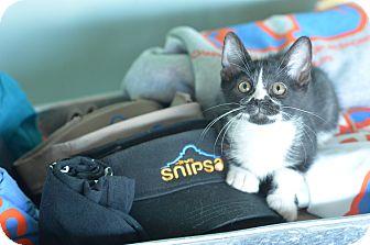 Domestic Mediumhair Kitten for adoption in San Antonio, Texas - Oreo
