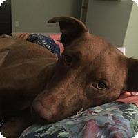 Adopt A Pet :: Maddie - McKinney, TX