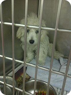 Poodle (Miniature)/Maltese Mix Puppy for adoption in Romeoville, Illinois - *ADOPTED* Muppet