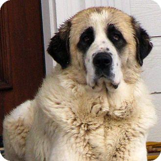 Leonberger Dog Rescue Illinois