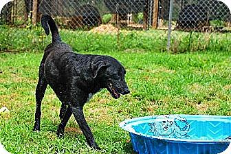 Labrador Retriever/Golden Retriever Mix Dog for adoption in Elizabeth City, North Carolina - John Brown