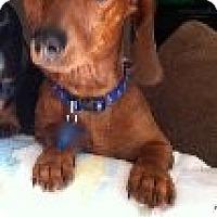 Adopt A Pet :: Wiggles - Las Vegas, NV