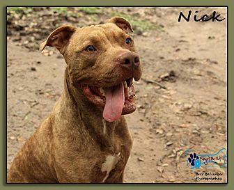 Pit Bull Terrier/Labrador Retriever Mix Dog for adoption in Sarasota, Florida - Nick