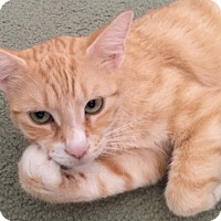 Domestic Shorthair Cat for adoption in Palm Coast, Florida - Nutmeg