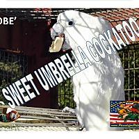 Adopt A Pet :: KOBE' The Umbrella Cockatoo - Vancouver, WA
