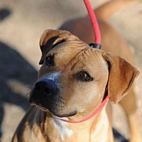 Rhodesian Ridgeback/Pit Bull Terrier Mix Dog for adoption in Clifton, Texas - Nahalia (Nalla)