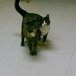 Photo 2 - Domestic Shorthair Cat for adoption in Milwaukee, Wisconsin - Olivia