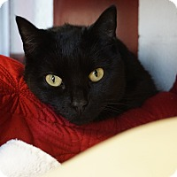 Adopt A Pet :: Bella 'Italian Beauty' - Mt Vernon, NY