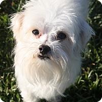Adopt A Pet :: Otto - Henderson, NV