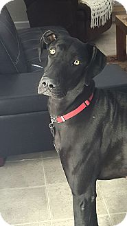 Great Dane Dog for adoption in El Paso, Texas - Kitty