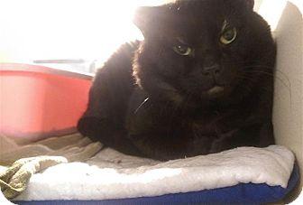 Domestic Shorthair Cat for adoption in Sedona, Arizona - Gmork