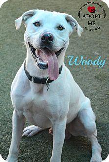 Labrador Retriever/American Bulldog Mix Dog for adoption in Youngwood, Pennsylvania - Woody