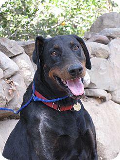 Doberman Pinscher Dog for adoption in Fillmore, California - Dalton