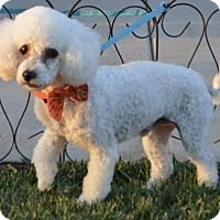 Poodle (Miniature)/Bichon Frise Mix Dog for adoption in Palo Alto, California - Ghost