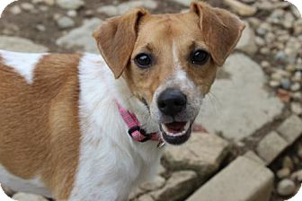 Jack Russell Terrier Mix Dog for adoption in Alexandria, Kentucky - Poppy