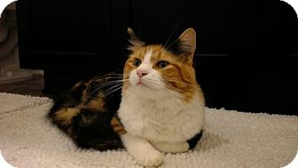 Domestic Longhair Cat for adoption in Tampa, Florida - Helene (2556-T)