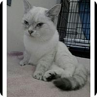 Adopt A Pet :: Cream Puff - Trevose, PA