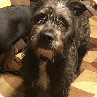 Schnauzer (Standard)/Pit Bull Terrier Mix Puppy for adoption in Torrington, Wyoming - NaAr