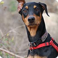 Adopt A Pet :: Uli - Fillmore, CA