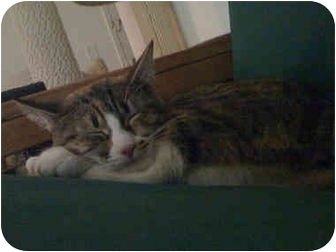 Calico Cat for adoption in Quincy, Massachusetts - Desi