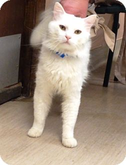 Domestic Mediumhair Cat for adoption in Gary, Indiana - Sinatra