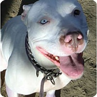Adopt A Pet :: Violet - Porter Ranch, CA