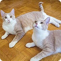 Adopt A Pet :: Sargent Pepper & Jude - Chicago, IL