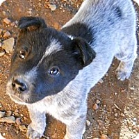 Adopt A Pet :: Jacob - dewey, AZ