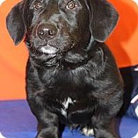 Adopt A Pet :: Pot Roast - Broomfield, CO